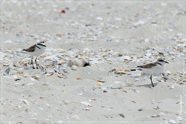 Пісочник морський Charadrius alexandrinus