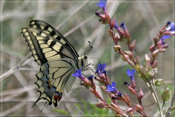Косатець Махаон Papilio machaon