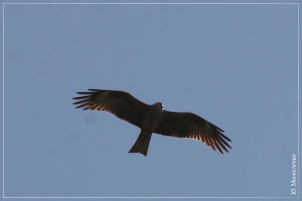 Шуліка чорний Milvus migrans