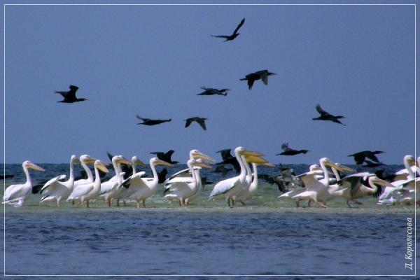 Пелікани рожеві