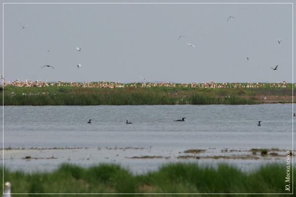 Гніздова колонія пелікана рожевого