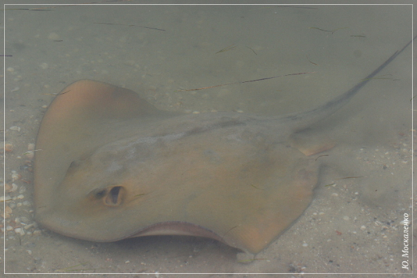 Морський кіт Dasyatis pastinaca