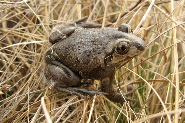 Жаба часникова Pelobates fuscus
