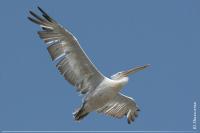 Пелікан кучерявий Pelecanus crispus