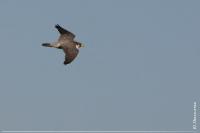 Сапсан Falco peregrinus