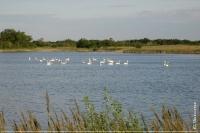 Солоноозерна ділянка. Лебеді на озері Бузовім