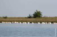 Солоноозерна ділянка. Рожеві пелікани в бухті Зими