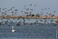 Скупчення качок на озері Потіївської ділянки