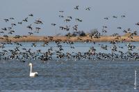 Скупчення попелюха та черні чубатої на озері Потіївської ділянки