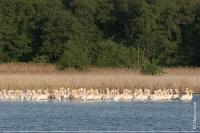 Ночівельне скупчення пелікана рожевого на озері Волижиного лісу